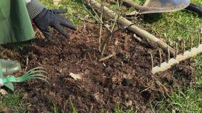 Giardiniere della donna che finisce piantando cespuglio video d archivio