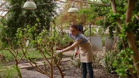 Giardiniere della donna con i tagli della potatura a disposizione che si preoccupano albero Facendo il giardinaggio nella serra stock footage