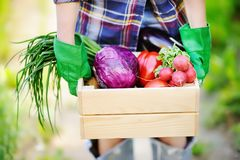 Giardiniere femminile che tiene cassa di legno con le verdure organiche fresche dall'azienda agricola Immagini Stock Libere da Diritti
