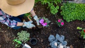 Giardiniere femminile irriconoscibile che pianta i fiori nel suo giardino Concetto di giardinaggio Vista superiore fotografia stock
