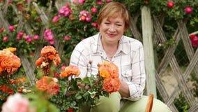 giardiniere maturo della donna che prende cura delle rose del cespuglio stock footage