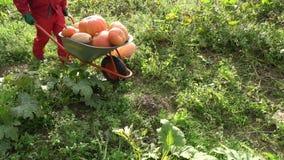 Giardiniere nel rosso che raccoglie e che trasporta le zucche con la carriola in giardino stock footage