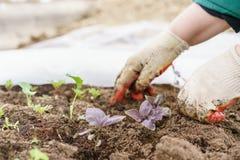 giardiniere Piantatura del basilico in giardino organico, del basilico porpora e della pala in mani femminili Facendo il giardina Fotografia Stock Libera da Diritti