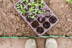 giardiniere Piantatura del basilico porpora in giardino organico Facendo il giardinaggio nella primavera Immagini Stock Libere da Diritti