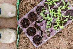 giardiniere Piantatura del basilico porpora in giardino organico Facendo il giardinaggio nella primavera Fotografie Stock Libere da Diritti