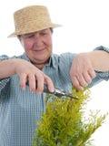 Giardiniere senior che forma l'albero del thuja Fotografia Stock Libera da Diritti