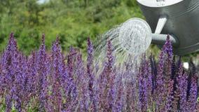Giardiniere Watering Purple Flowers con l'annaffiatoio stock footage