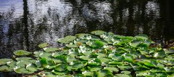 Giardino acquatico con le ninfee o il loto fresche sullo stagno Fondo della natura, copyspace, insegna, carta da parati fotografie stock