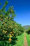 Giardino arancione in Tailandia del Nord Fotografia Stock Libera da Diritti