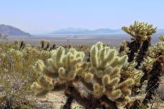 Giardino basso del cactus del deserto Immagini Stock