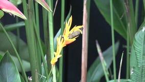 Giardino botanico di Singapore Sterlitzia video d archivio