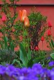 Giardino con i tulipani Immagine Stock