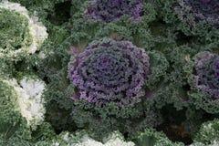 Giardino convenzionale che pianta i cavoli ornamentali immagini stock libere da diritti