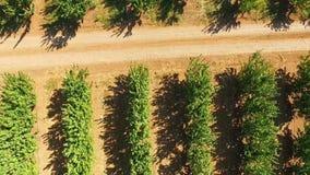 Giardino degli alberi da frutto verdi Vista dell's-occhio del ` dell'uccello archivi video