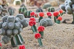 Giardino dei cactus Fotografie Stock
