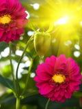 Giardino dei peonies del fiore Fotografia Stock Libera da Diritti