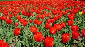 Giardino dei tulipani al carillon olandese Fotografia Stock Libera da Diritti