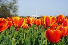 Giardino dei tulipani al carillon olandese Immagine Stock