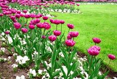 Giardino dei tulipani dentellare Fotografie Stock