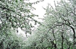 Giardino del Apple in fioritura Fotografia Stock