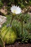 Giardino del cactus - Elche - Spagna Fotografie Stock Libere da Diritti