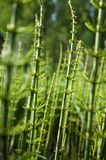 Giardino del campo della foresta di verde del campo della pianta dell'equiseto fotografie stock libere da diritti