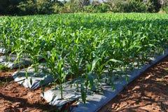 Giardino del cereale Fotografia Stock Libera da Diritti