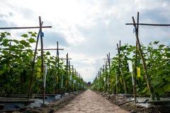 Giardino del cetriolo fotografie stock libere da diritti