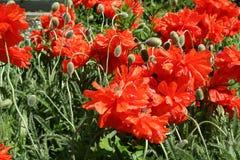 Giardino del fiore del papavero in primavera Fotografie Stock Libere da Diritti