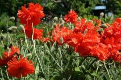 Giardino del fiore del papavero in primavera fotografia stock libera da diritti