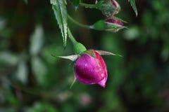Giardino del germoglio di Rosa Fotografie Stock