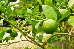 Giardino del limone fotografia stock