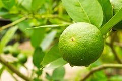 Giardino del limone immagini stock libere da diritti