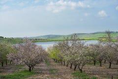 Giardino del mandorlo che fiorisce con i fiori rosa e bianchi in frutteto con i petali che riguardano il terreno che compare come Fotografia Stock