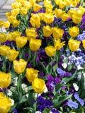Giardino del Pansy e del tulipano Fotografia Stock