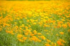 Giardino del papavero e della libellula gialli Fotografia Stock