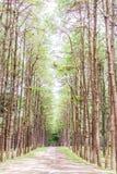 Giardino del pino a Chiang Mai Thailand Fotografie Stock Libere da Diritti