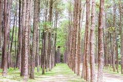 Giardino del pino a Chiang Mai Thailand Fotografia Stock