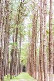 Giardino del pino a Chiang Mai Thailand Immagine Stock