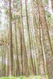 Giardino del pino a Chiang Mai Thailand Immagine Stock Libera da Diritti