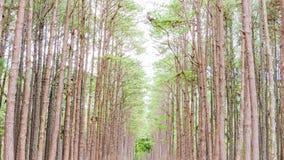 Giardino del pino a Chiang Mai Thailand Fotografia Stock Libera da Diritti