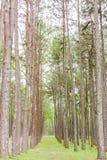 Giardino del pino a Chiang Mai Thailand Immagini Stock