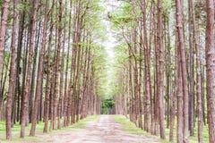 Giardino del pino a Chiang Mai Thailand Fotografie Stock