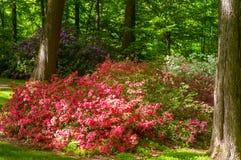 Giardino del rododendro Fotografie Stock