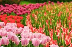 Giardino del tulipano Immagine Stock Libera da Diritti