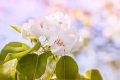 Giardino delicato della pera del fiore in primavera, macro Immagine Stock