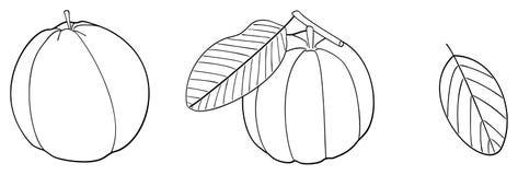 Giardino delizioso - un insieme di due guaiave con le foglie Immagini Stock Libere da Diritti