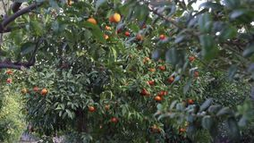 Giardino dell'agrume a Sorrento - pentola video d archivio