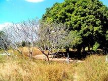 giardino dell'albero del fiore del papavero coltivato Immagini Stock
