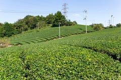Giardino dell'albero del tè verde Fotografie Stock